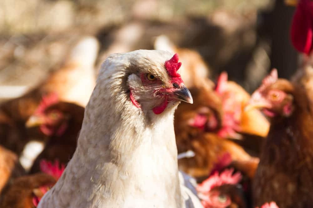 Gros plan d'une poule dans son poulailler