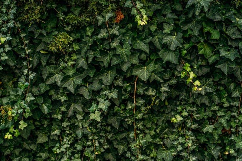 végétalisation d'un mur de dehors