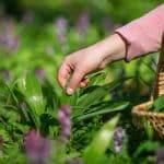 3 bonnes raisons de planter l'allium ursinum dans votre jardin