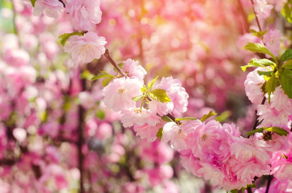 arche de jardin et rosier