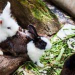 Élevage de lapin nain : tout ce que vous devez savoir !