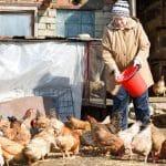 Comment bien nourrir une poule ?